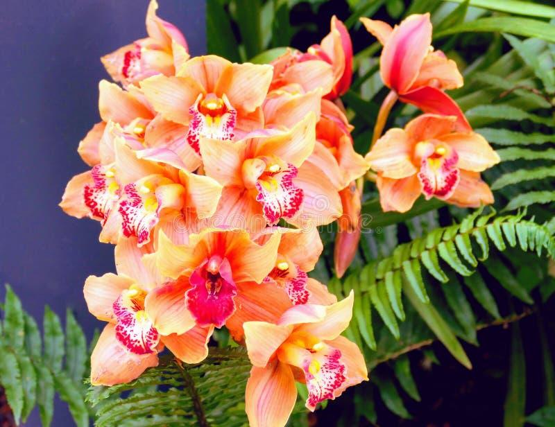 Purpere orchidee in de Filippijnen stock foto