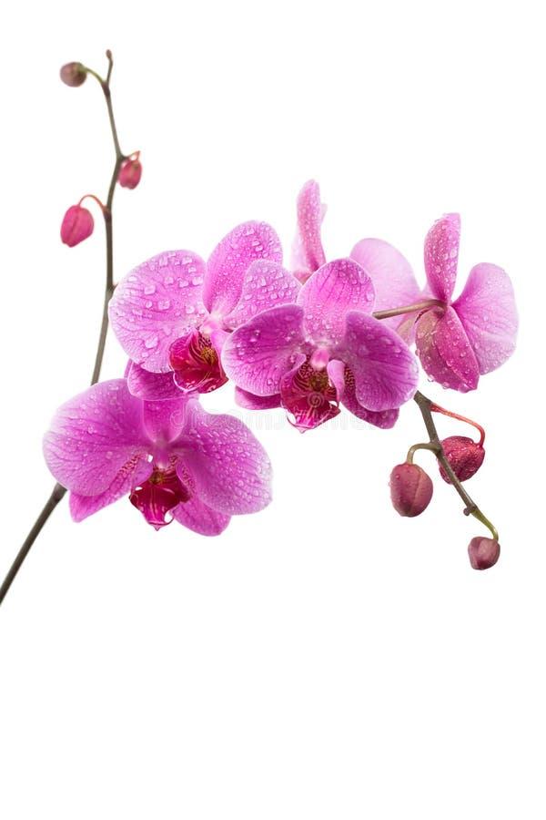 Purpere orchidee die op wit wordt geïsoleerdk royalty-vrije stock foto's