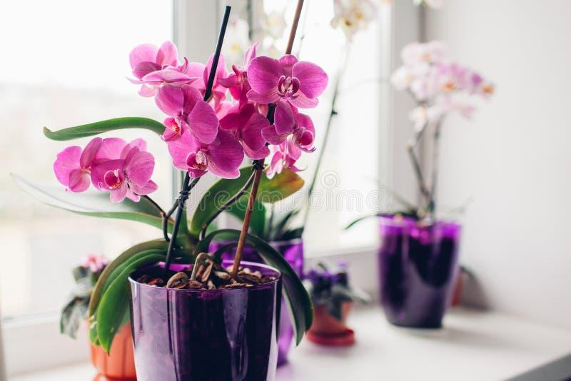 Purpere orchidee op vensterbank Het huis plant zorg royalty-vrije stock afbeeldingen