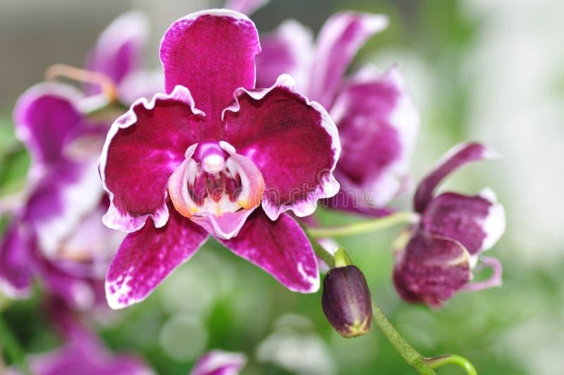Purpere orchidee Phalaenopsis, Doritaenopsis royalty-vrije stock fotografie