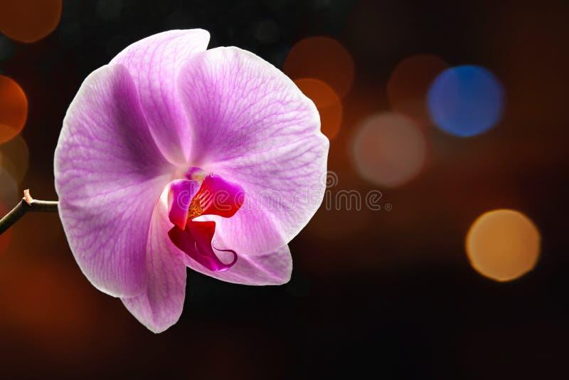 Purpere orchideebloem op een donkere achtergrond met bokehhoogtepunten De bloem van de Phalaenopsisorchidee tegen de achtergrond  royalty-vrije stock foto