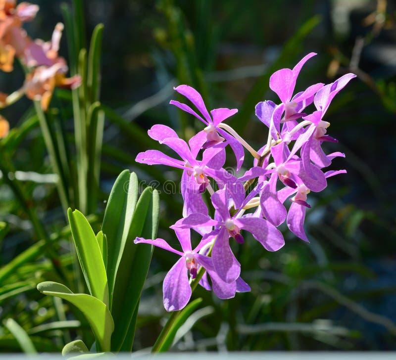 Purpere orchideebloemen bij het park stock fotografie