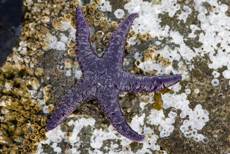 Purpere Overzeese Ster, Pisaster-ochraceus, Gabriola-Eiland, Brits Colombia, Canada royalty-vrije stock afbeelding