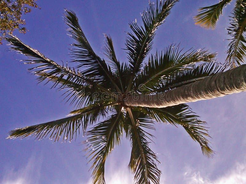 Purpere palm royalty-vrije stock afbeelding