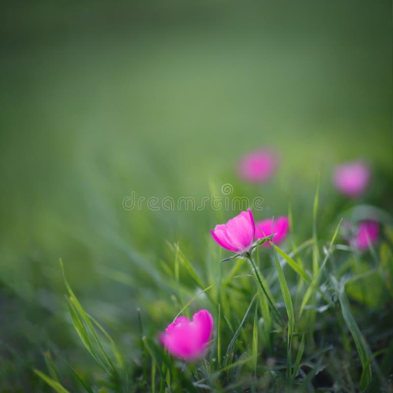 Purpere papaver-malve wildflowers royalty-vrije stock afbeeldingen