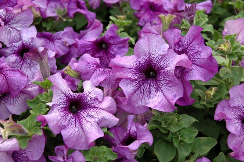 Purpere petunia stock afbeeldingen