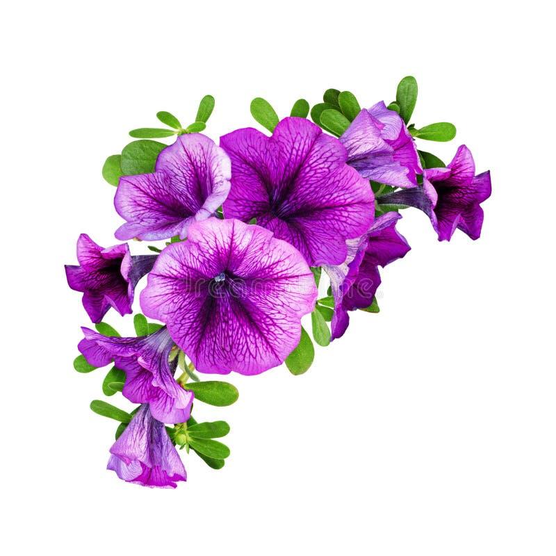 Purpere petuniabloemen in een bloemenhoeksamenstelling stock foto