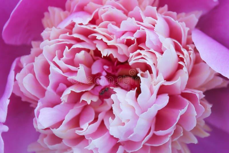 Purpere pioen, mooie bloem, roze royalty-vrije stock fotografie