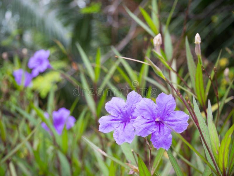 Purpere regenbloem Kleur en het blad van Ruelliatuberosa de blauw-Violette stock afbeelding