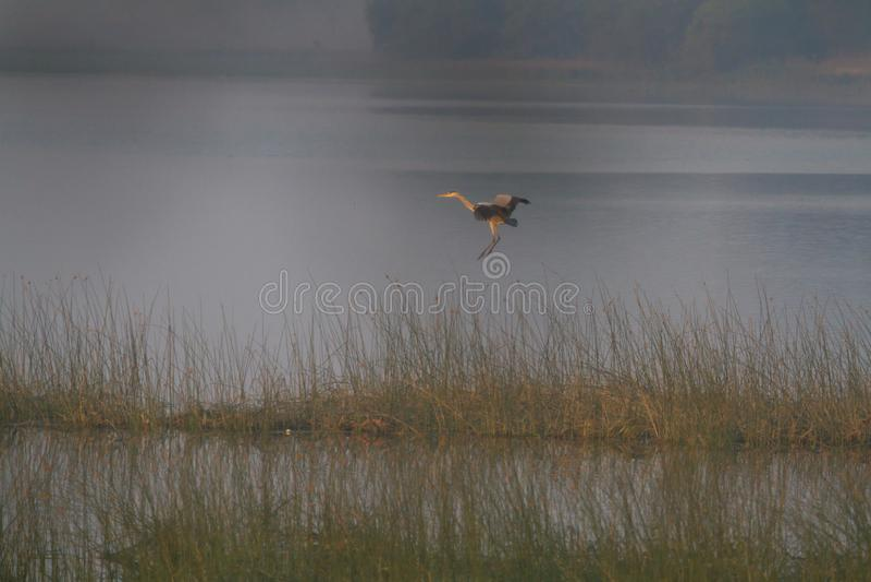 Purpere Reiger die in een moerasland vliegen royalty-vrije stock afbeelding