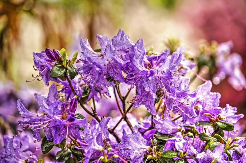Purpere rododendronstruik stock afbeeldingen