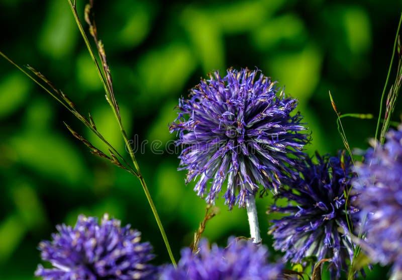 Purpere ronde bloem royalty-vrije stock fotografie