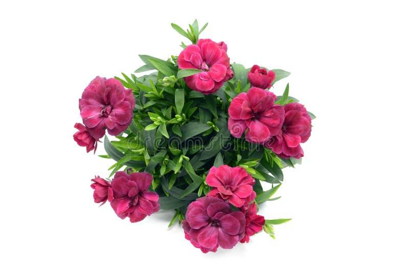 Purpere roze dianthusbloem in bloempot ingemaakt op witte isolat stock foto's