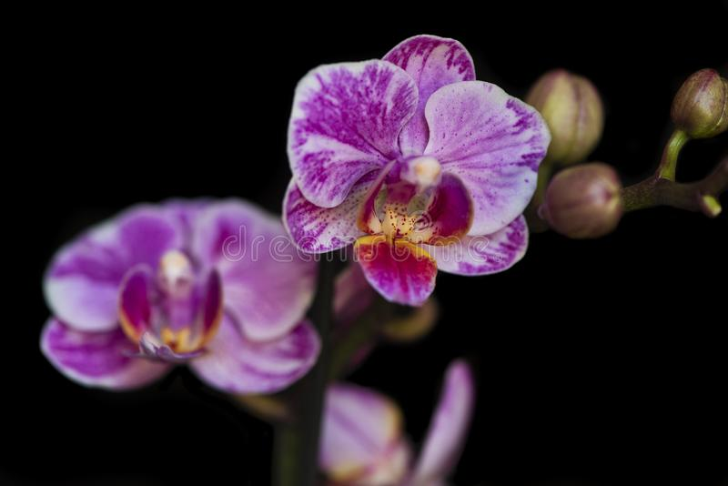 Purpere roze orchidee stock afbeeldingen