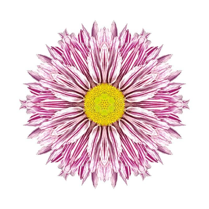 Purpere Strepen op Concentrische Chrysant Mandala Flower stock afbeelding