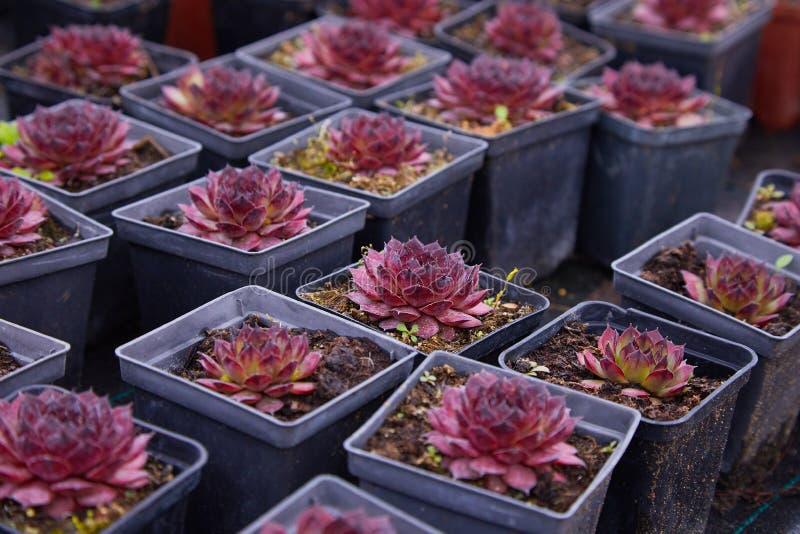 Purpere succulant echeveria Een succulente die bloem als wordt gevormd nam toe royalty-vrije stock foto