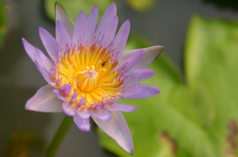 Purpere Thaise lotusbloem met insect stock afbeeldingen