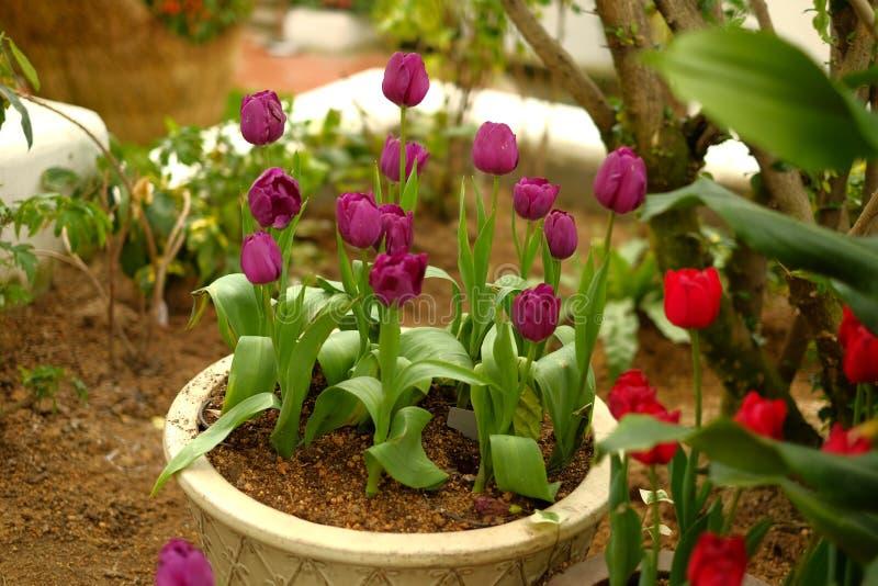 Purpere tulp in bloempot stock afbeelding