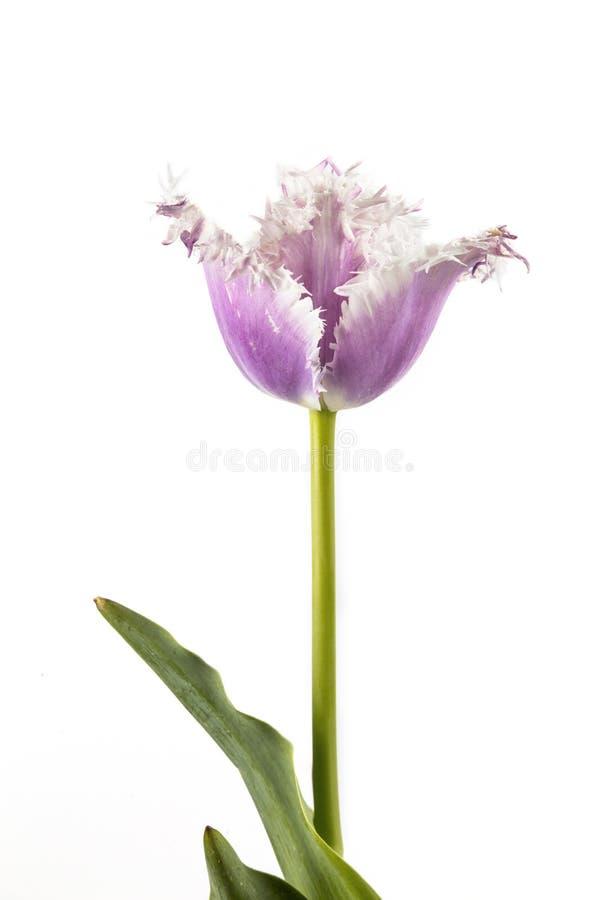 Purpere tulp op een witte achtergrond royalty-vrije stock foto