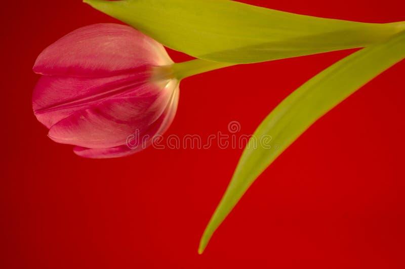 Purpere Tulp W/red. Royalty-vrije Stock Afbeeldingen
