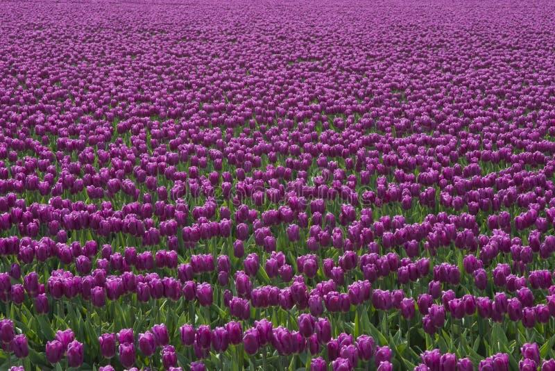 Purpere Tulpen royalty-vrije stock afbeeldingen