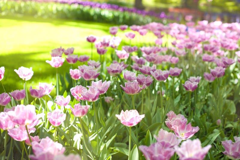 Purpere tulpen en groen gras Park met bloemen Keukenhof in de lente holland Achtergrond, stock afbeelding