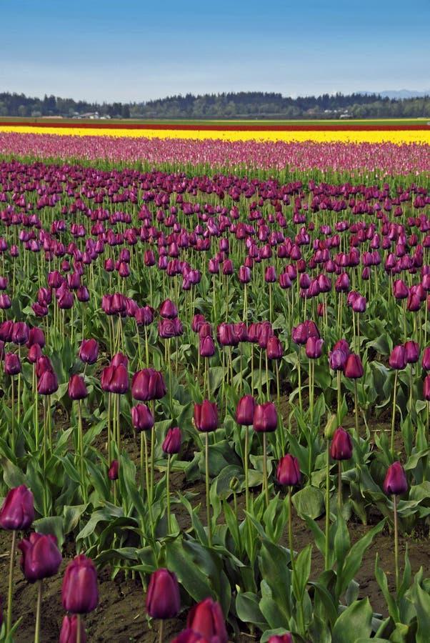 Purpere Tulpen en meer royalty-vrije stock foto's