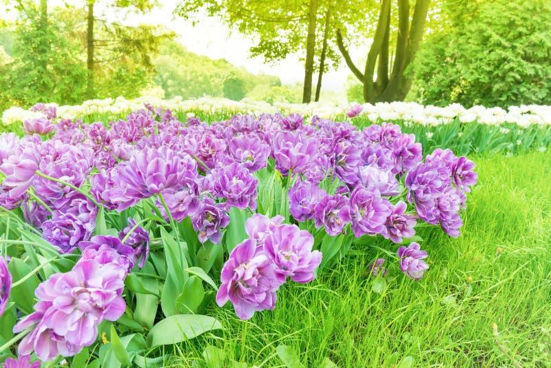Purpere tulpen in groen park royalty-vrije stock fotografie