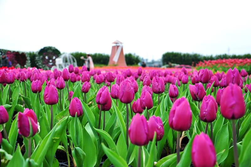 Purpere tulpentuin op de lenteachtergrond royalty-vrije stock foto's