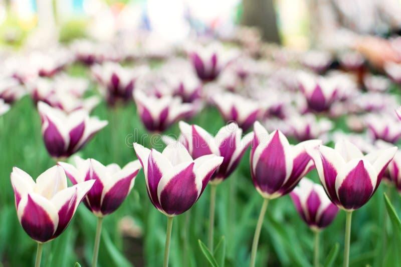 Purpere tulpenverscheidenheid Violette tulpen in de bloemtuin, arboretum met zonlicht Bloem horizontale banner royalty-vrije stock foto's