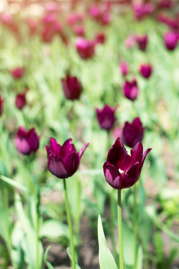 Purpere tulpenverscheidenheid Violette tulpen in de bloemtuin, arboretum met zonlicht Bloem verticale banner stock fotografie