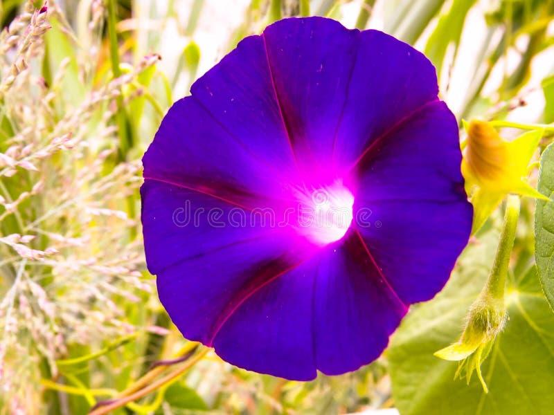 Purpere Ultraviolette Ochtend Glory Flower In een Gebied van Groen stock foto