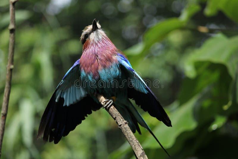 purpere vogel royalty-vrije stock afbeeldingen