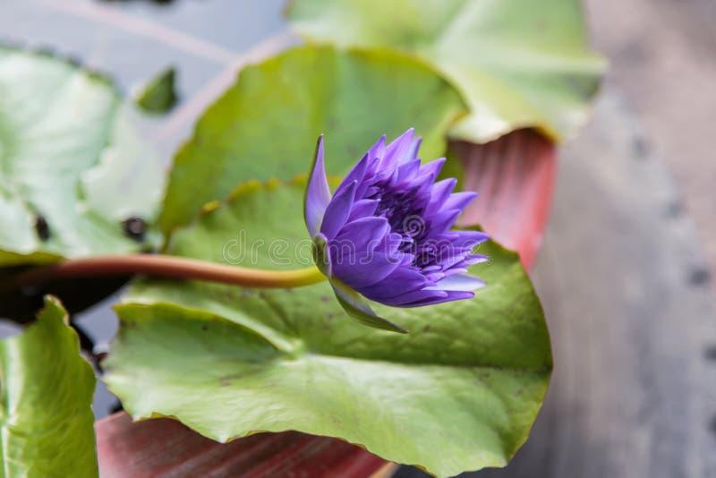 Purpere Waterlelie royalty-vrije stock foto's