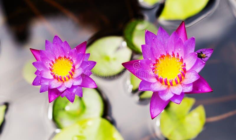 Purpere waterleliebloem stock afbeeldingen