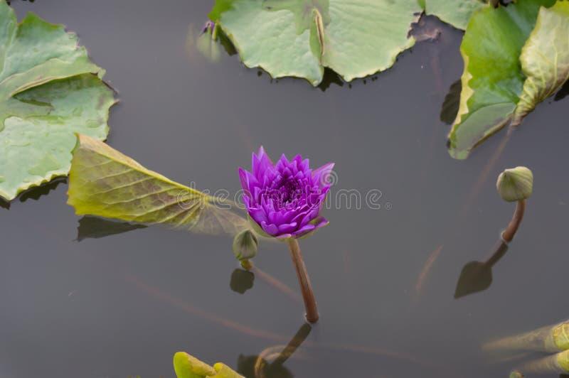 Purpere waterleliebloem in het water Bloeiend Lotus royalty-vrije stock afbeeldingen