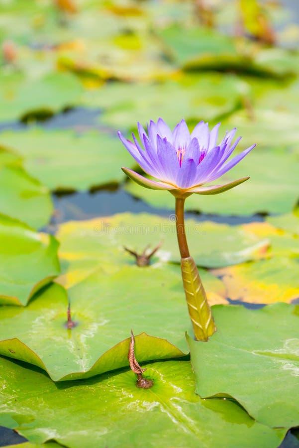 Purpere Waterleliebloem in pool royalty-vrije stock fotografie