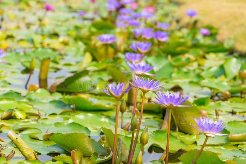 Purpere Waterleliebloem in pool stock afbeelding