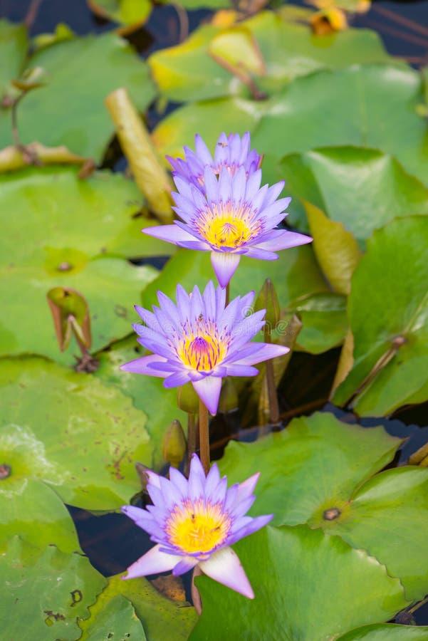 Purpere Waterleliebloem in pool royalty-vrije stock afbeeldingen