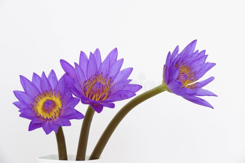 Purpere waterleliebloemen stock foto