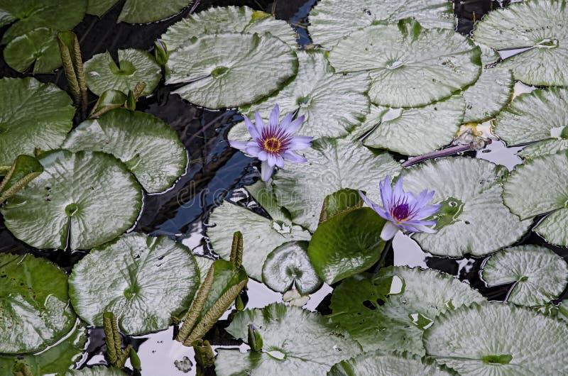 Purpere Waterlilies in bloei stock foto's