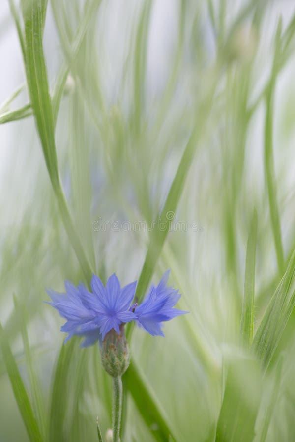 Purpere weide wilde bloem in zachte nadruk ondiepe diepte stock fotografie