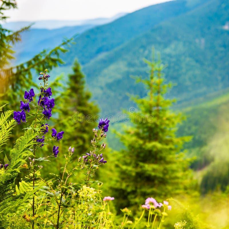 Purpere wilde bloemen in de bergen stock afbeeldingen