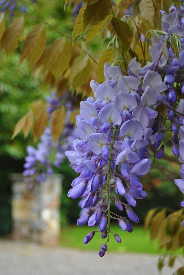 Purpere wisteria stock afbeelding