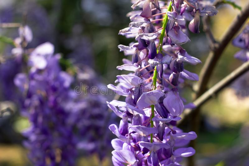 Purpere Wisteria-Bloem Bush stock foto's