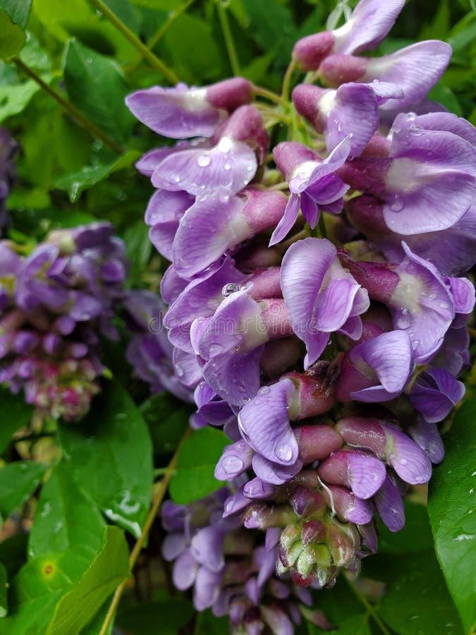 Purpere wisteria na regen stock fotografie