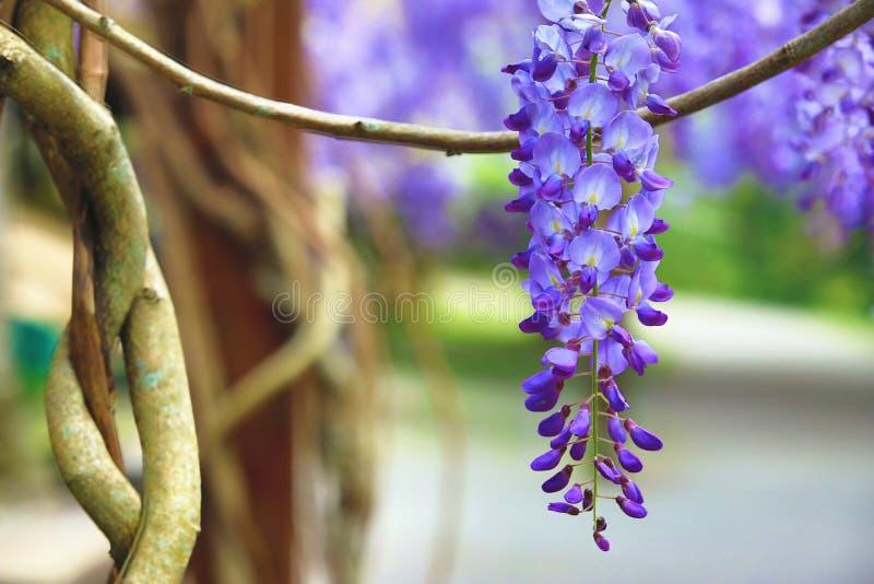 Purpere wisteriabloemen, Bean Tree, Chinese Wisteria, Purpere Wijnstok stock foto
