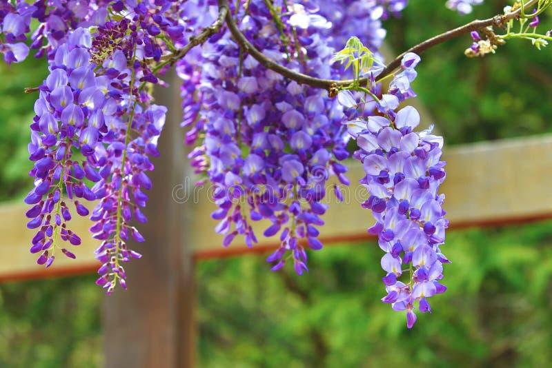 Purpere wisteriabloemen, Bean Tree, Chinese Wisteria, Purpere Wijnstok royalty-vrije stock afbeelding