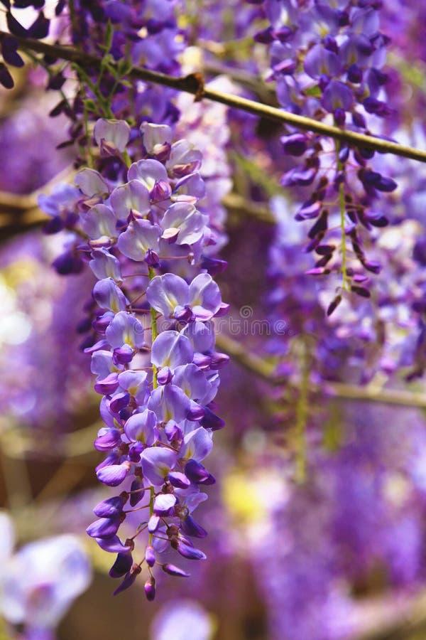 Purpere wisteriabloemen, Bean Tree, Chinese Wisteria, Purpere Wijnstok royalty-vrije stock foto's