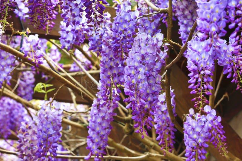 Purpere wisteriabloemen, Bean Tree, Chinese Wisteria, Purpere Wijnstok royalty-vrije stock fotografie
